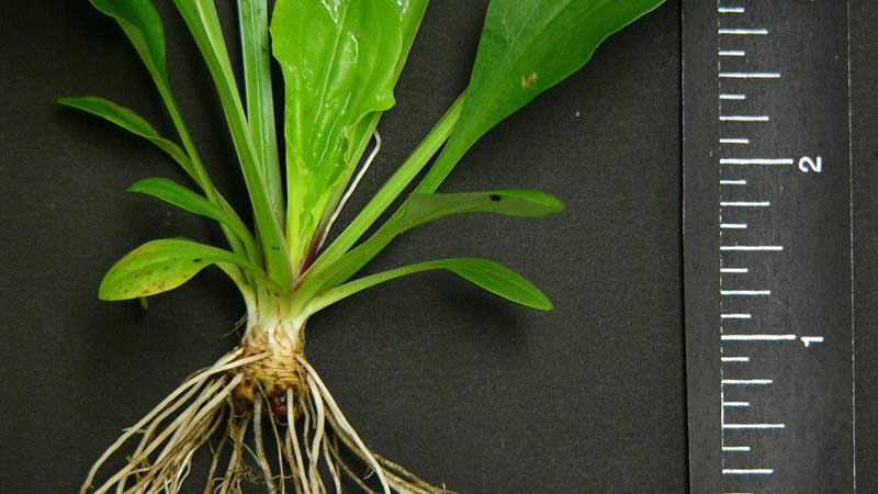 Broadleaf plantain root type.