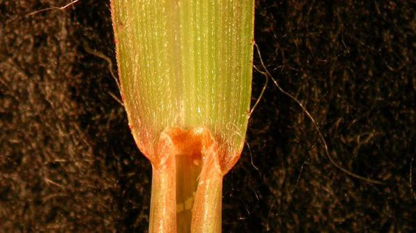 Broomsedge ligule