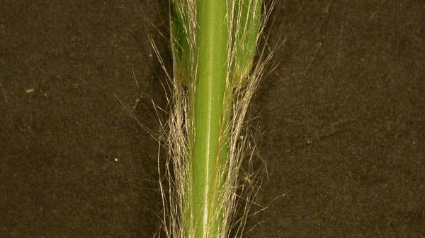 Broomsedge sheath margin