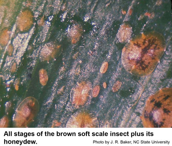brown soft scale insects