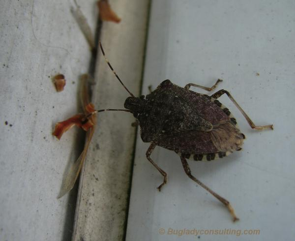 Figure 6. Brown marmorated stink bug.