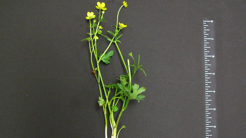 Bulbous buttercup growth habit.