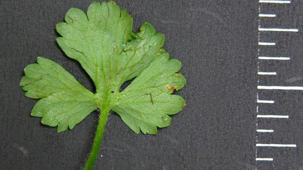 Bulbous buttercup leaf margin.