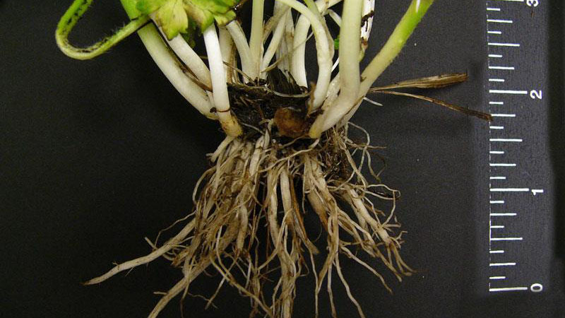 Bulbous buttercup root type.