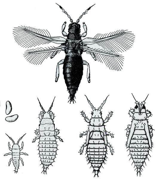 Figure 167. Greenhouse thrips.