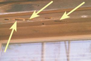 Figure 8. Woodpecker damage to window trim infested with carpent