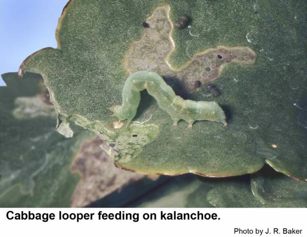 The cabbage looper feeding on kalanchoe.