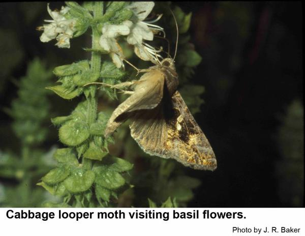 Cabbage looper moths fly primarily at night.