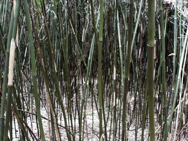 A close-up view of a dense stand of rivercane