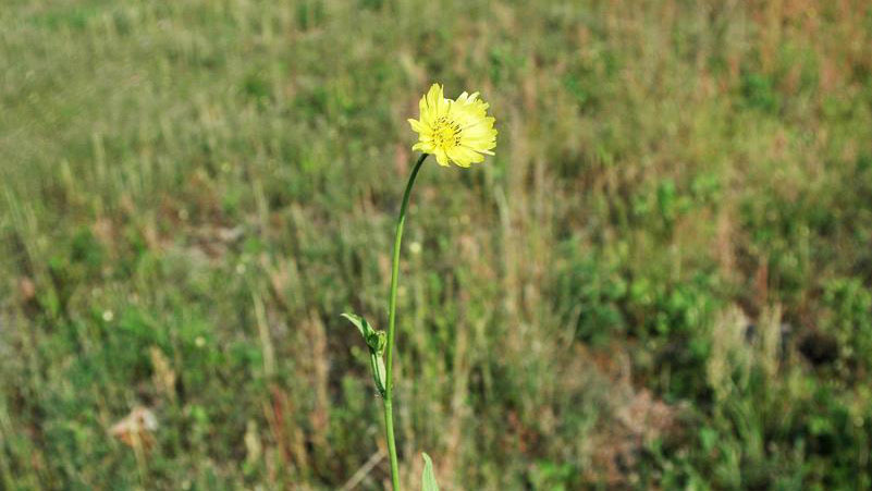 Carolina false dandelion growth habit.