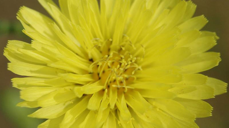 Carolina false dandelion flower color.