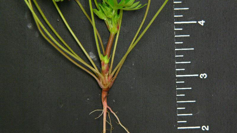 Carolina geranium root type.