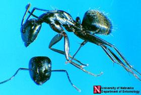 Figure 1. Carpenter ant worker.