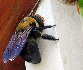 Figure 4. Carpenter bee chewing.
