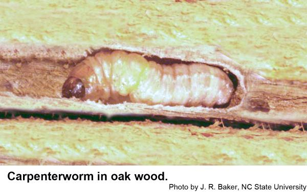 carpenterworm in oak