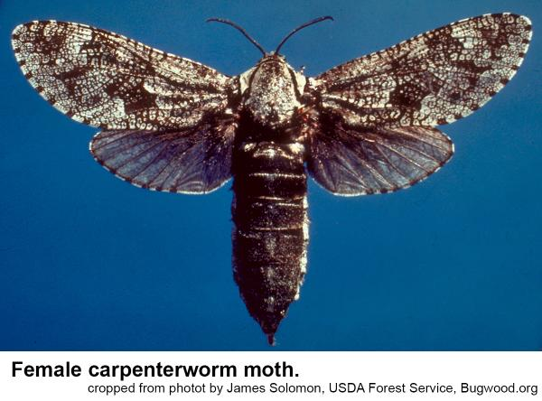 female carpenterworm wing span