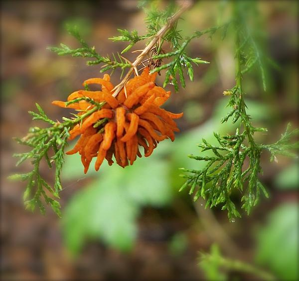 cedar apple rust cedar
