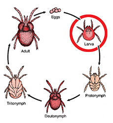 Life cycle of a chigger