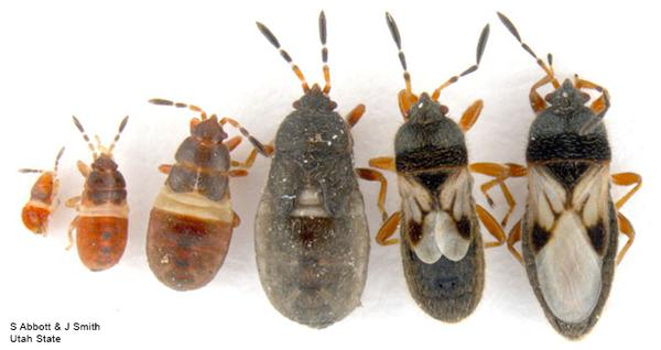 Figure 2. Chinch bug life stages.
