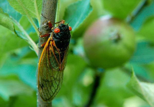 Periodical cicada (brood XIV, 2008)