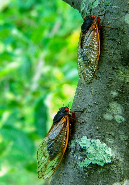 Periodical cicadas (brood XIV, 2008)