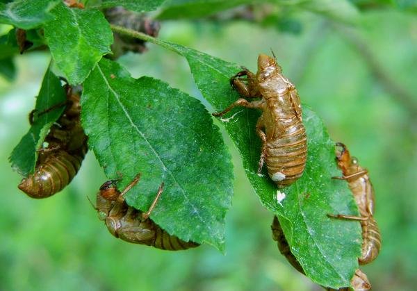 Cicada nymph exoskeletons, after molting to adulthood