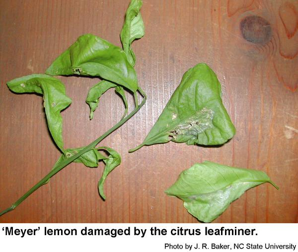 Plants infested with the citrus leafminer look ragged and tatter