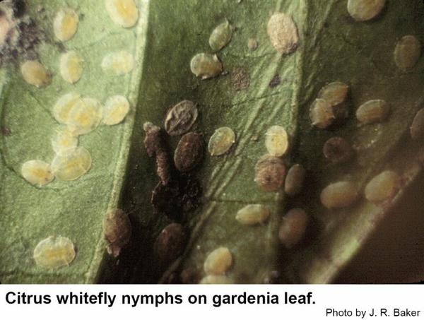 Citrus whitefly nymphs are flat and yellowish.