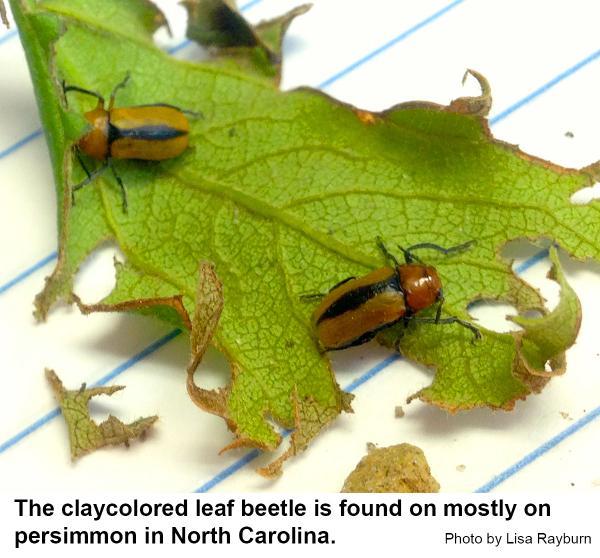 Claycolored leaf beetles