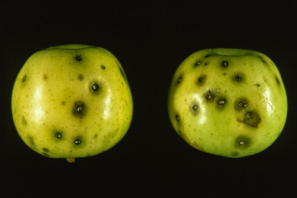Codling moth 'stings' on apples