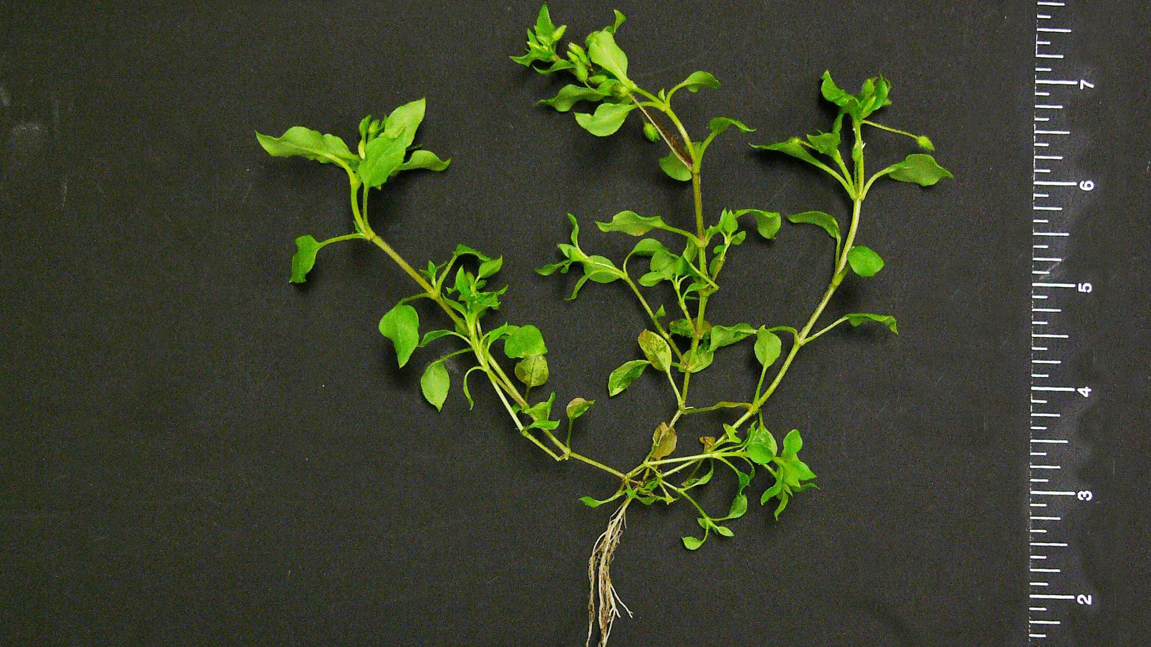 Thumbnail image for Common Chickweed