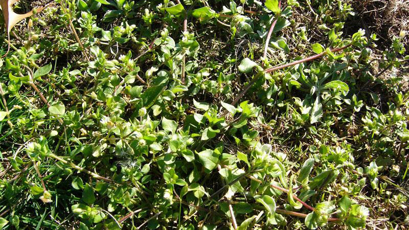 Common chickweed growth habit.