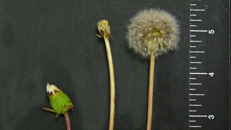 Common dandelion flower color.