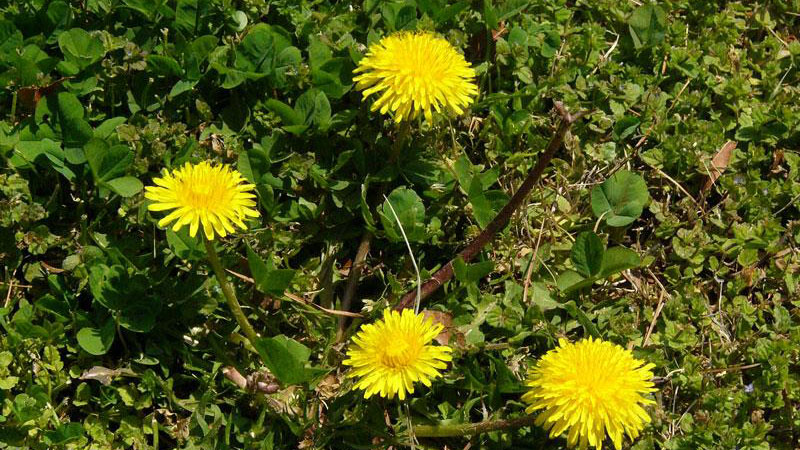 Common dandelion growth habit.