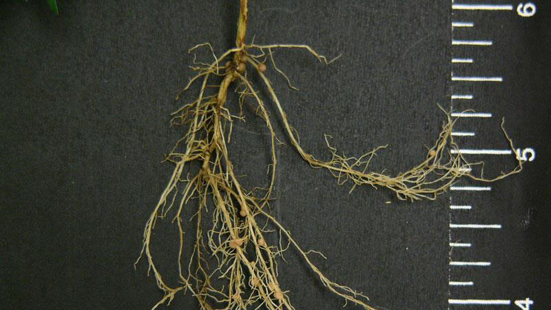 Common lespedeza root type.