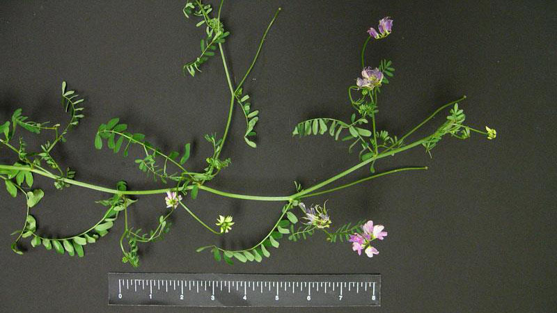 Common vetch growth habit.