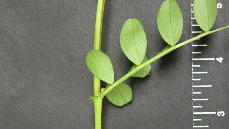 Common vetch leaf arrangement.