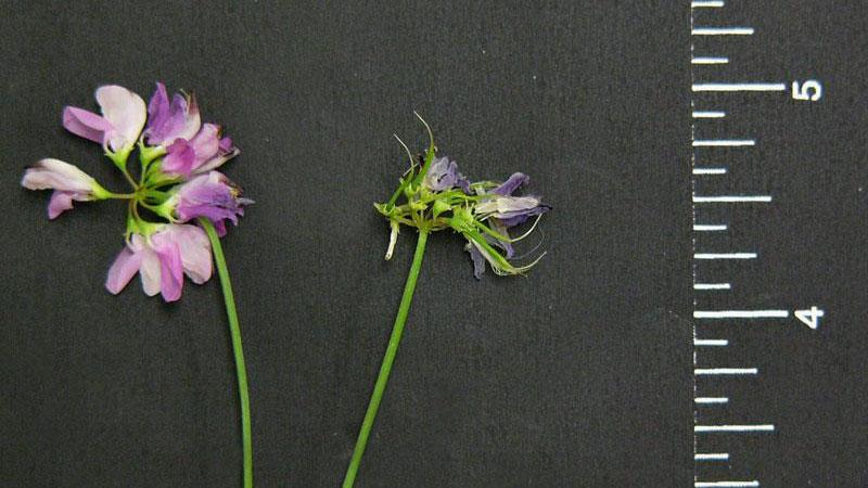 Common vetch flower color.