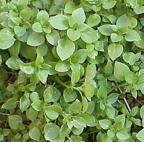 Photo of common chickweed