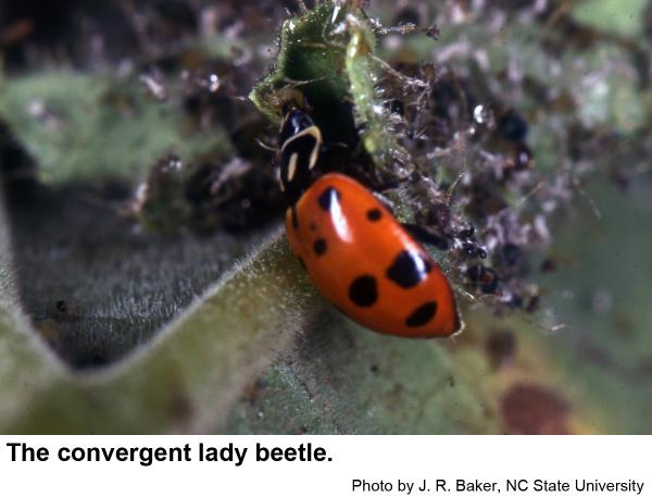 The convergent lady beetle is one of our most common lady beetle