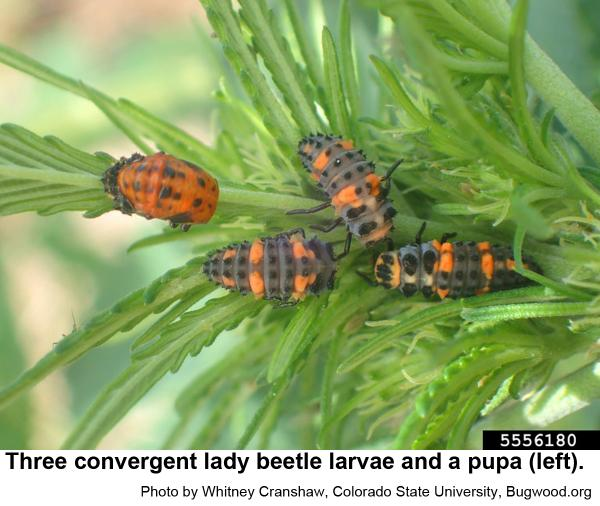 Older convergent lady beetle larvae are grayish blue with three