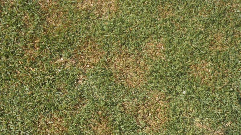 Copper spot foliar symptoms.