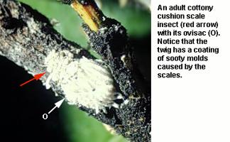 Figure 6. An adult cottony cushion scale insect.