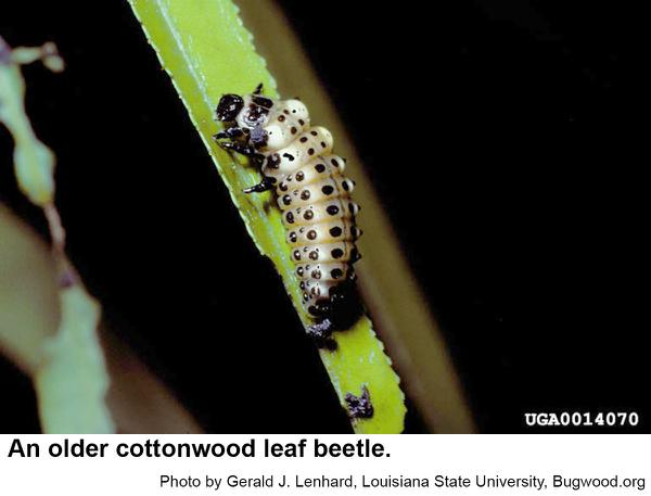 Older cottonwood leaf beetle larvae have conspicuous pale spots.