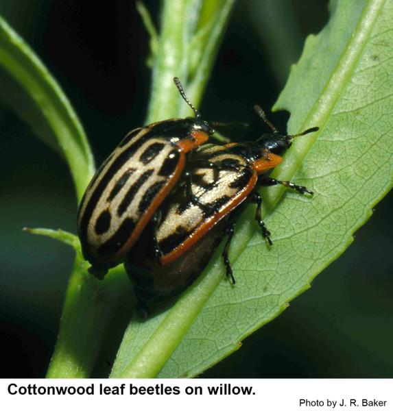 cottonwood leaf beetles