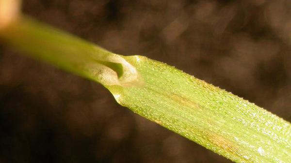 Creeping bentgrass ligule