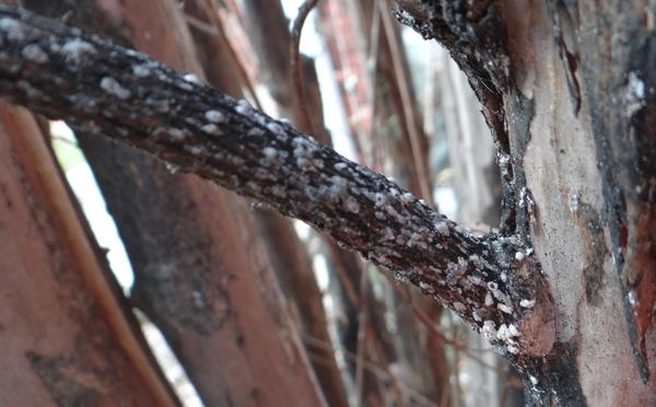 Crape myrtle bark scales on a crape myrtle twig.