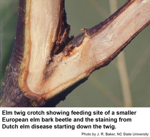 Feeding sites may become infected with Dutch elm disease.