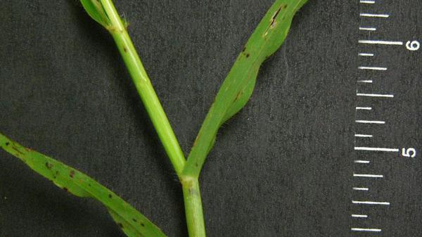 Crowfootgrass vernation