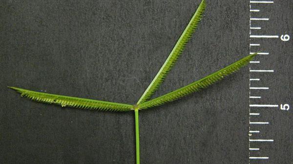 Crowfootgrass seedhead